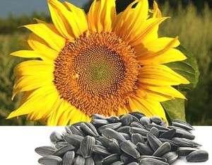 Как правильно выбрать семена подсолнечника